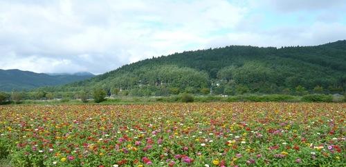 百日草のお花畑